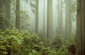 RedwoodsimRegen