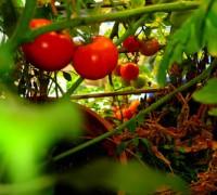 QC21E03-Tomaten