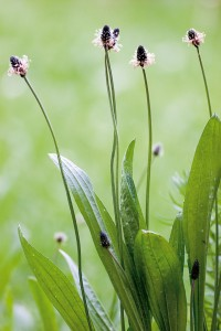Plantago lanceolata - Plantain; Plantago lanceolata - Spitzweger
