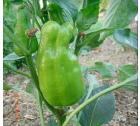 paprika-schöpfungsgarten