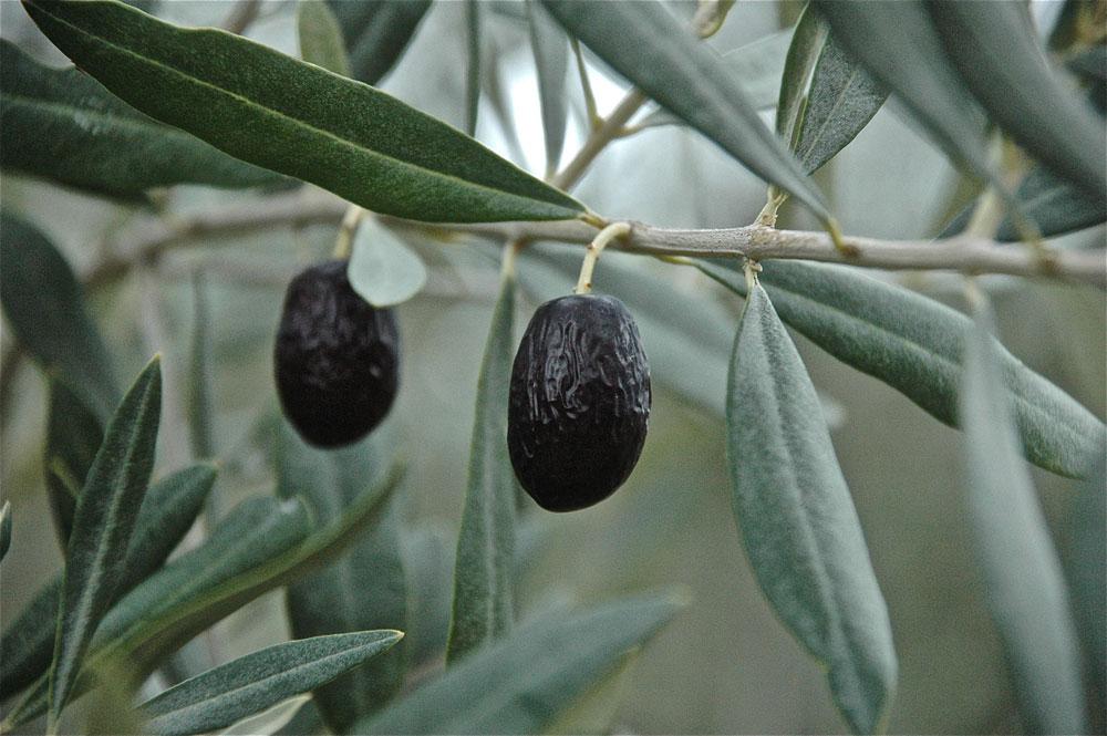 Olive – die göttliche Frucht