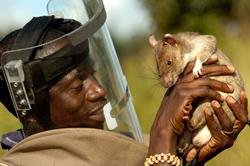 Hero RATs: Durch Ratten Landminen entschärfen