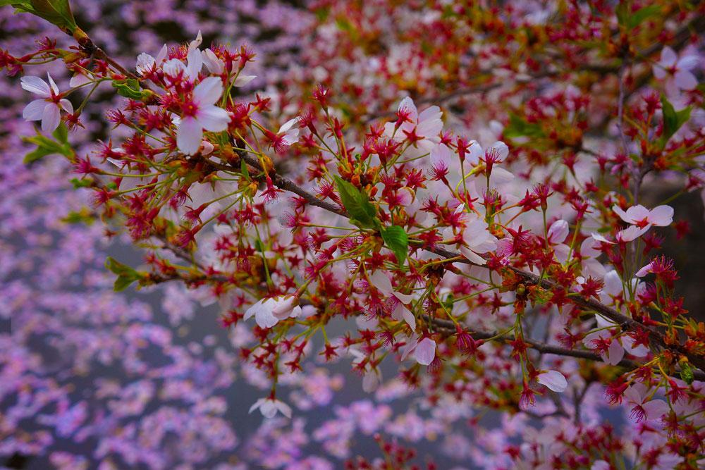 Kirschblüte im Schindlerhof | Franken