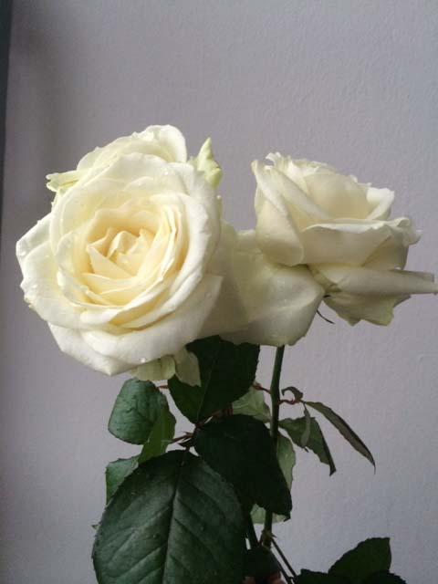Tipp: Wiederbelebung für Rosen