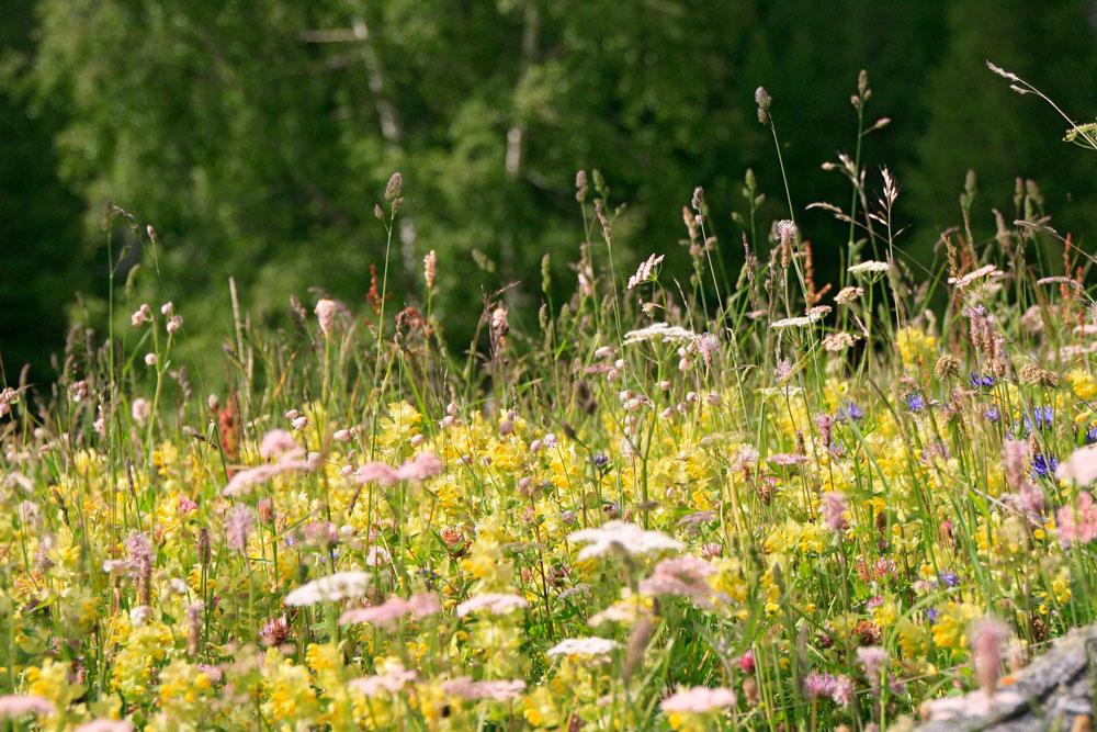 Wildpflanzen: Wirksame Antioxidantien