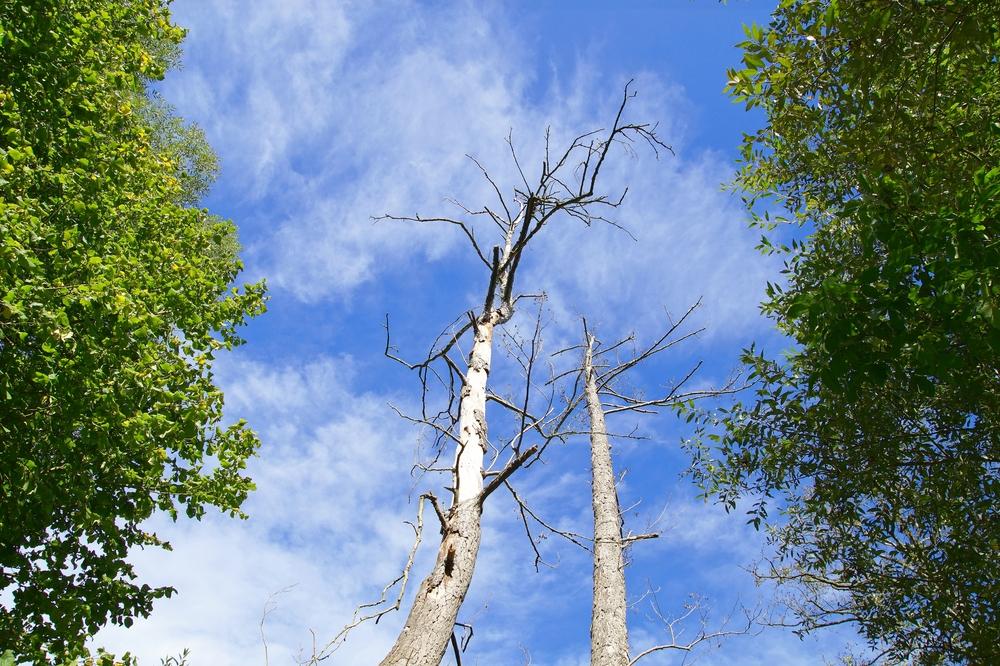 Bäume – gequält und gestresst durch Funkstrahlung