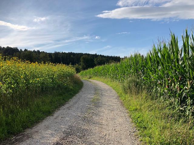 Interessante Alternativen zu Mais – Silphie